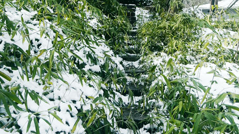 Snow covered Bamboo,swaying in wind,Lane,Trails,Road Stock Video Footage