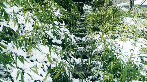 Snow covered Bamboo,swaying in wind,Lane,Trails,Road Footage