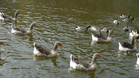 Ducks geese and swans swimming on water,lake Stock Video Footage