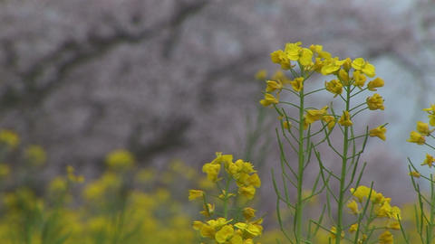 Rape blossoms and Cherry trees Stock Video Footage