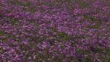 Moss phlox Footage