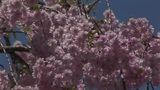 Cherry blossoms Footage