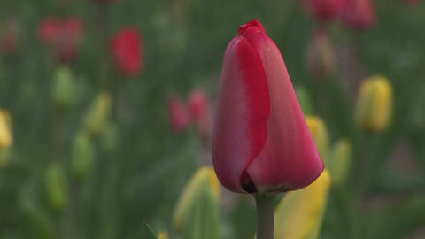 Red tulip Stock Video Footage