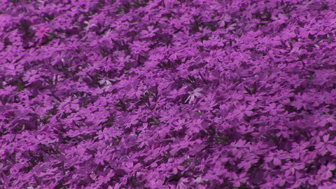 Moss phlox Stock Video Footage