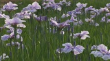 Japanese iris Footage