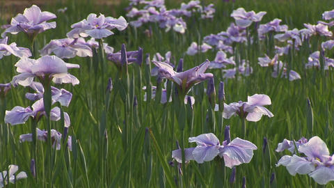 Japanese iris Stock Video Footage