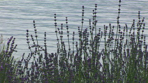 Lavender Stock Video Footage