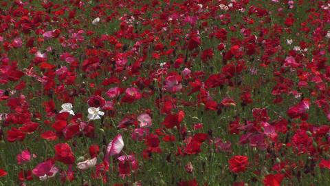 Poppy flower field Stock Video Footage