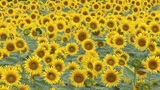 Sunflowers Footage