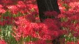 Cluster Amaryllis stock footage