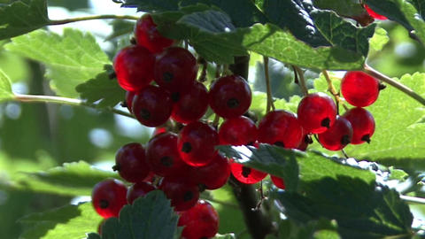 Red gooseberries on the bushes.Camera moves Footage
