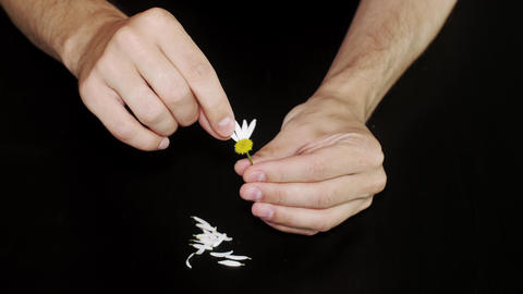 Daisy divination. Mans hands on black background Footage