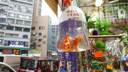 Alive huge goldfish in small plastic hanged in market stall Footage