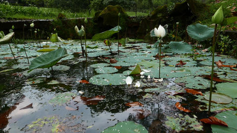 Rainy pond view, lotus leaves on water, white flowers on thin stalk Footage