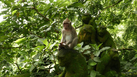 Juvenile macaque eat coconut, sit on mossy stone monkey statue in leaves Live Action