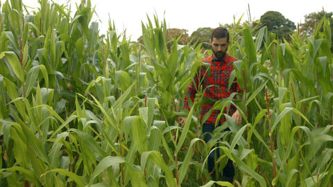 Handsome man walking in a corn planting Footage