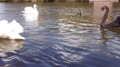 Swans gliding over water Footage