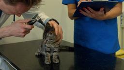 Vet examining little kitten in his office Footage
