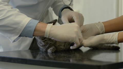 Vet and nurse examining little kitten Footage