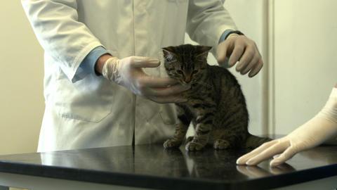 Vet and nurse examining little kitten Footage