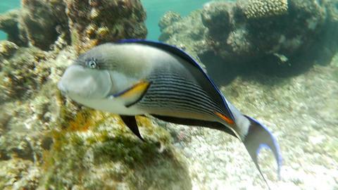 Sohal Surgeon-Fish Footage