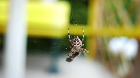 4K European Garden Spider Araneus Diadematus caught a Fly 1 Live Action
