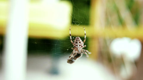 4K European Garden Spider Araneus Diadematus caught a Fly 2 stylized Live Action