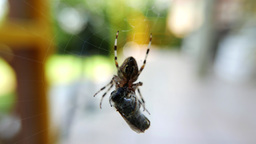 4K European Garden Spider Araneus Diadematus caught a Fly 3 Live Action