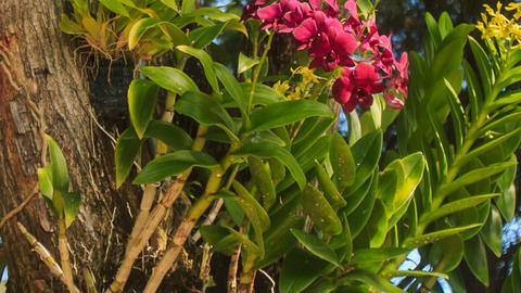 tropical plant with big pink flowers Footage