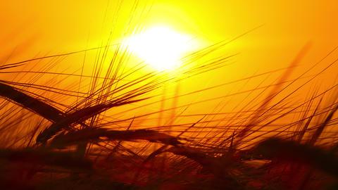 ears of ripe wheat against setting sun, 4k Footage