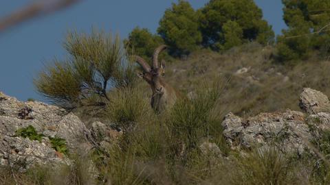 Iberian male ibex on mountainside Footage