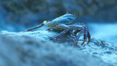 Stone crab Footage