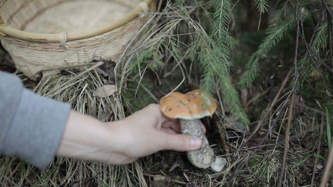 Mushrooming, Orange-cap Boletus stock footage
