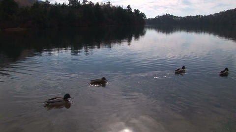 Wild ducks swimming in a lake Stock Video Footage