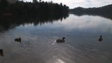 Wild ducks swimming in a lake Footage