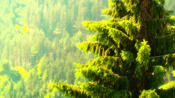 European Alps Austria 31 pine trees stylized Footage