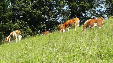 Summer Meadow and Cows 03 Stock Video Footage