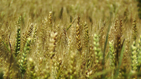 Wheatfield in the Summer 02 closeup Stock Video Footage