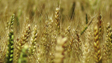Wheatfield in the Summer 04 closeup Stock Video Footage