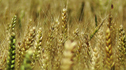 Wheatfield in the Summer 04 closeup Footage