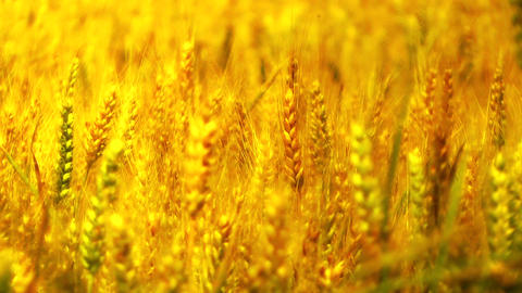 Wheatfield in the Summer 06 closeup stylized Stock Video Footage