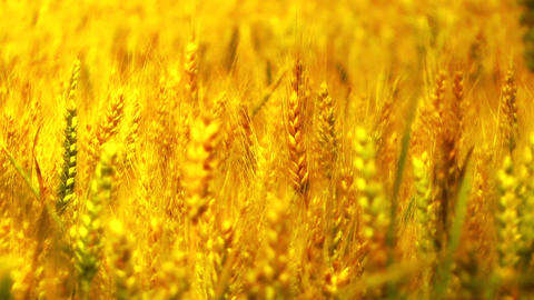 Wheatfield in the Summer 06 closeup stylized Footage