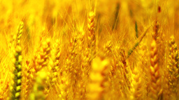 Wheatfield in the Summer 08 closeup stylized Stock Video Footage