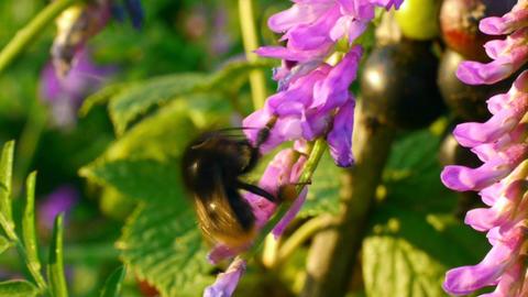 bumblebee 2 Stock Video Footage