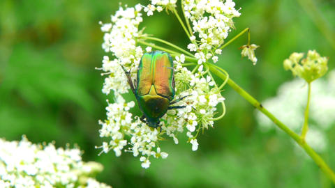 green beetle 2 Stock Video Footage