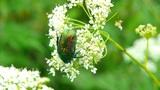 green beetle 2 Footage