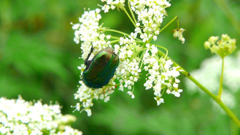green beetle 2 Stock Video Footage