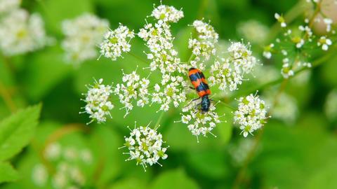 orange beetle Stock Video Footage