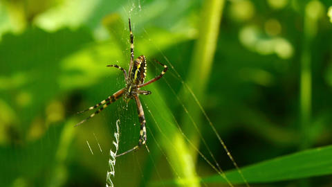 yellow black spider Stock Video Footage