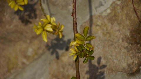 Green shrub leaves on stone wall Stock Video Footage